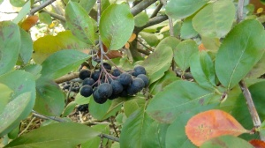 Aronia berry cluster