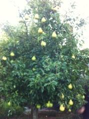 pear tree lots of pears